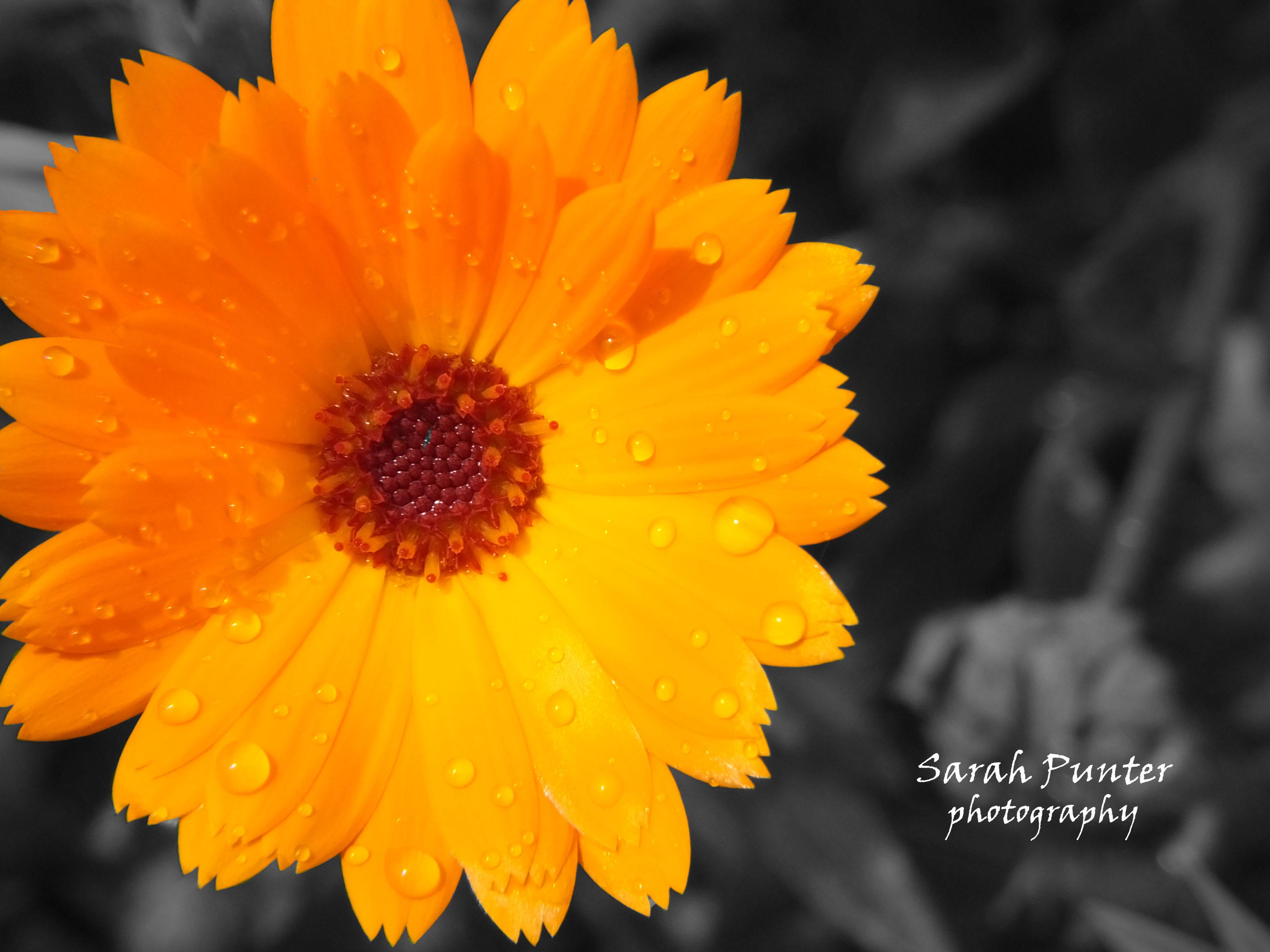 Calendula Flower Print